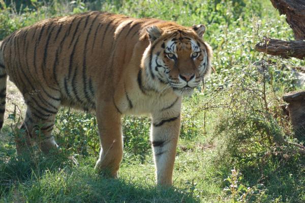 Centro di Recupero Animali Selvatici ed Esotici di Semproniano tigre