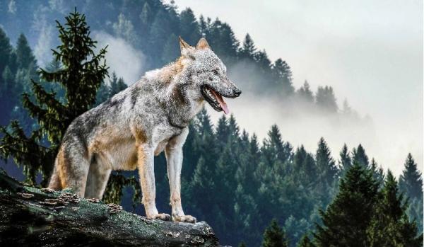 Il lupo è uno degli animali simbolo dei progetti LAV