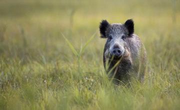 Animali selvatici, il Ministero sostiene un nuovo progetto LAV